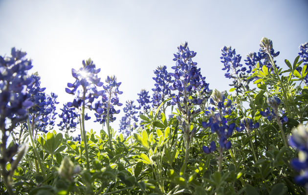 Bluebonnets Sighting 1