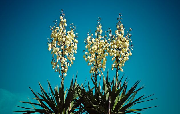 Yucca Blooms 2