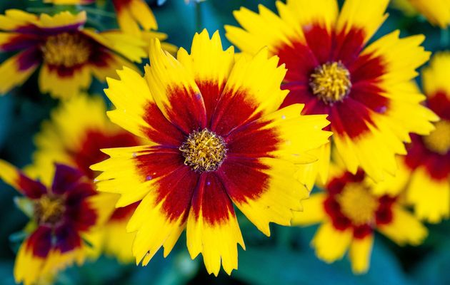 Coreopsis Bunches 1